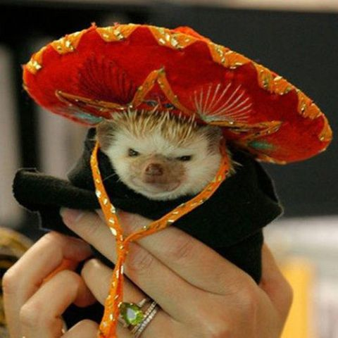 Mexican Hedgehog (Image via Buzznet)
