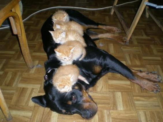 Dog with Kittens (Image via Facebook)