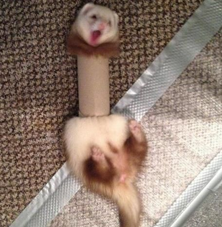 A Ferret in a Compromising Position (Image via Milkshk)