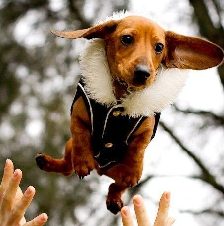 Aerial Dachshund (Image via Pinterest)