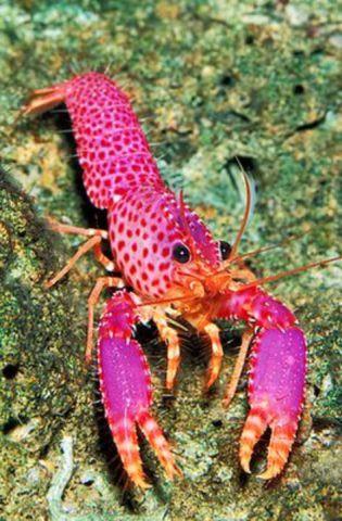 Colorful Lobster (Image via Pinterest)
