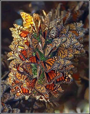 Monarch Butterflies in Migration (Image via Green Renaissance)