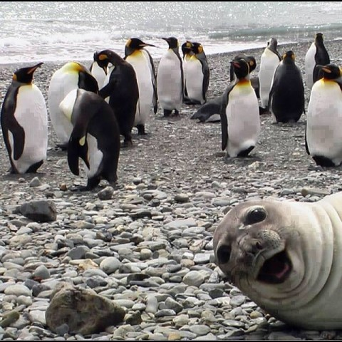 Seal Photo Bombing Penguins (Image via Craig Colton)