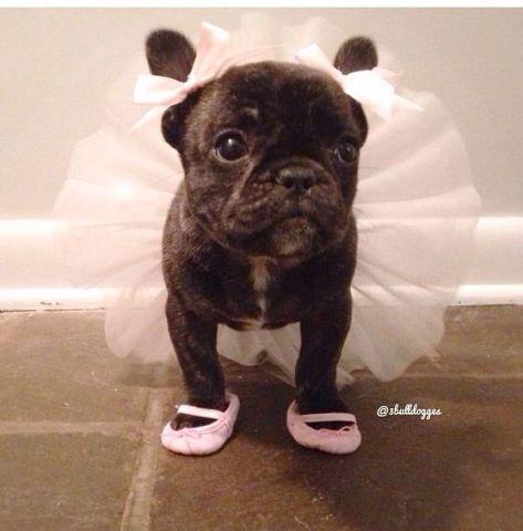 Ballerina Pug (image via 3bulldogges)
