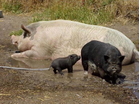 A baby potbellied pig, a full-grown potbellied pig, and a farm hog. (via SCAMPP)