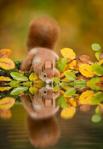 Squirrel Drinking from Autumn Pond (Image via SkunkWire)
