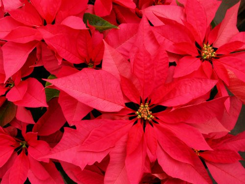 Poinsettias Can Make Pets Sick: Keep pets away from Christmas plants