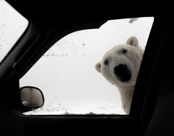 Tourist Visiting Canada To See Polar Bears Gets His Wish... On The Bear's Terms