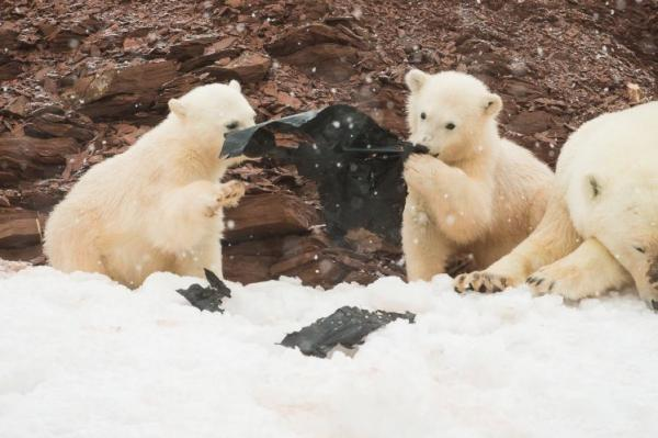 Polar Bears Chew Plastic Washed Ashore On Remote Arctic Island