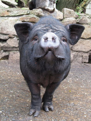 Pot-Bellied Pig (Photo by Donar Reiskoffer/Creative Commons via Wikimedia)
