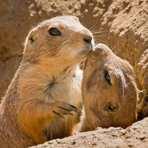 Prairie Dogs Kiss: image via lazoo.org