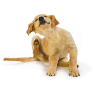 Fleas can drive a dog crazy!