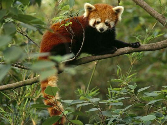 A full-grown red panda weighs between 10 and 14 pounds: image via nationalgeographic.com