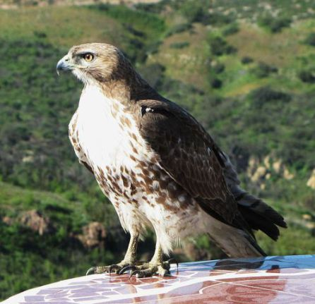 Red-Tailed Hawk (Photo by Davefoc/Creative Commons via Wikimedia)