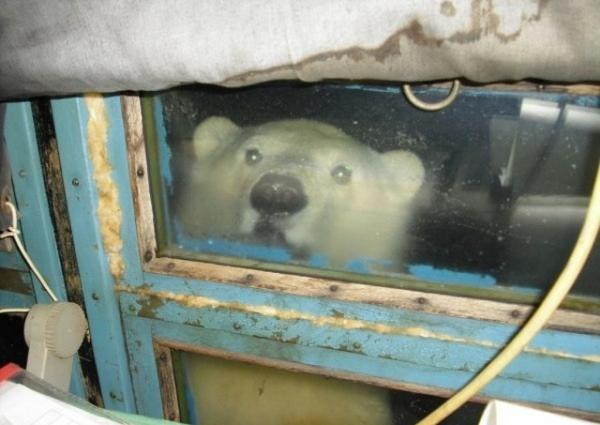 Russians Polar Bear Proof Their Windows With Spiked Grills
