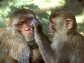 Rhesus macaques: image via nationalgeographic.com