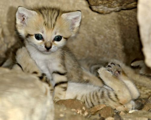 Sand Cat kitten at the Zoo Tel Aviv Ramat-Gan: photographer: Tibor Jäger image viia zooborns.com