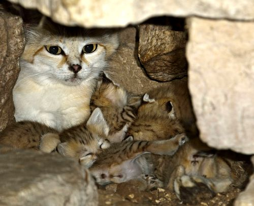 Sand Cat kittens born at the Zoo Tel Aviv Ramat-Gan: photographer: Tibor Jäger image viia zooborns.com
