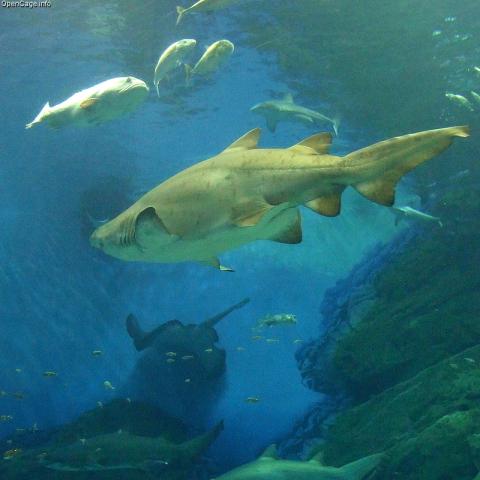 Sand tiger shark: Sand tiger sharks are on exhibit at the New York Aquarium.