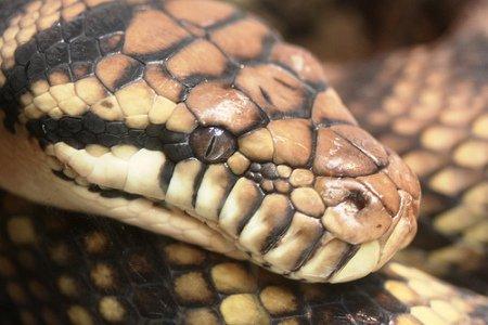 Scrub Python: (Photo by OZinOH /Creative Commons via Flickr)