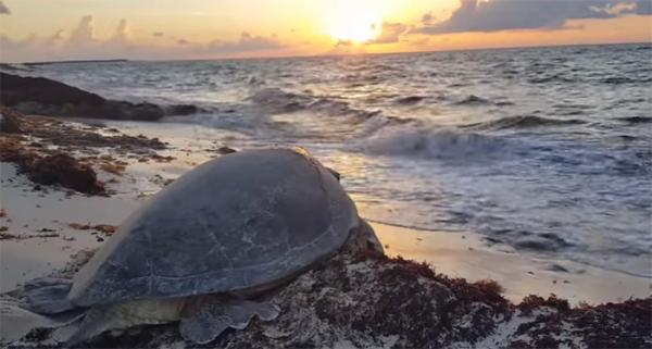 Helpful Tourist Flips Stranded Sea Turtle Back On Its Flippers
