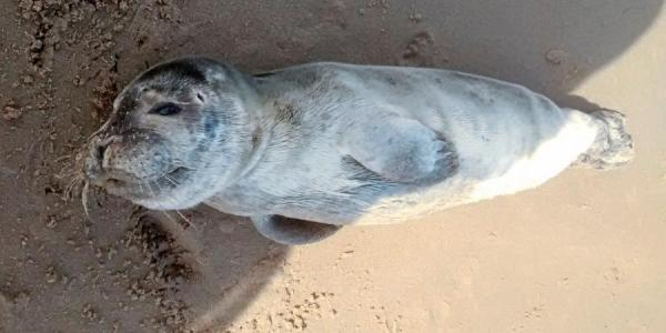 Rescued Welsh Seal Pup Named For Popular GoT Character Theon