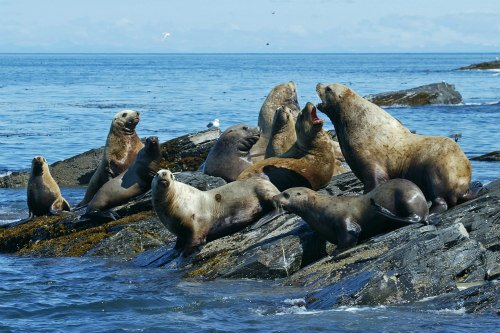 Group of seals, also named as a pod