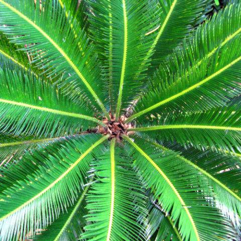 Poisonous Plants: 10 Outdoor Plants Poisonous To Cats: Sago palms are poisonous to cats