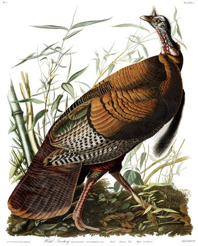 "'Wild Turkey (Male)"" Audubon's Birds of America"