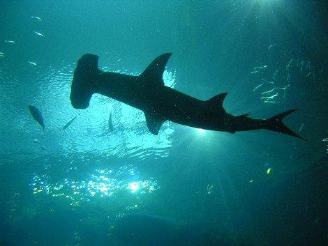 Hammerhead Shark: (Photo by tanjila /Creative Commons via Flickr)