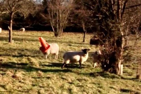Sheep With Head Stuck In Traffic Cone Rescued By RSPCA