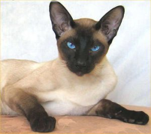 Siamese cat: image via catfacts.org