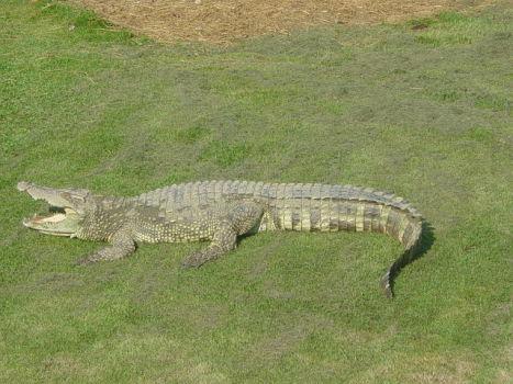 Siamese Crocodile (Public Domain Image)