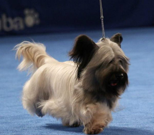 Purina's 2015 National Dog Show: The winner of the Terrier Group was a Skye Terrier named Charlie
