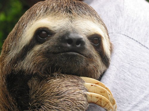 Three-Toed Sloth: (Photo by Praziquantel /Creative Commons via Flickr)