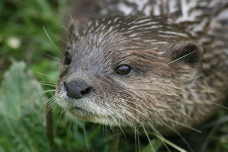 Oriental Small-Clawed Otter (Photo by Keven Law/Creative Commons via Wikimedia)