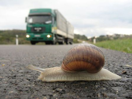 Snail about to become road kill (Photo by Robert Thomson/Creative Commons via Wikimedia)