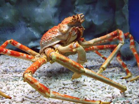 Live Japanese Spider Crab (Photo by Tsarli/Creative Commons via Wikimedia)