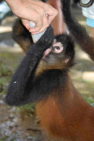 Winky the spider monkey at a wildlife rehab center in Costa Rica (Photo by Steven G. Johnson/Creative Commons via Wikimedia)