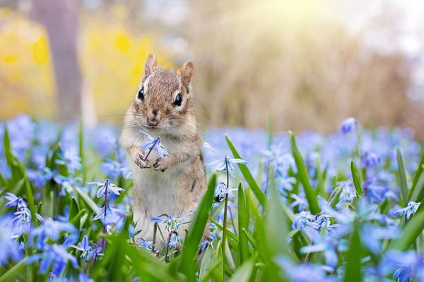 squirrel in field of blue flowers