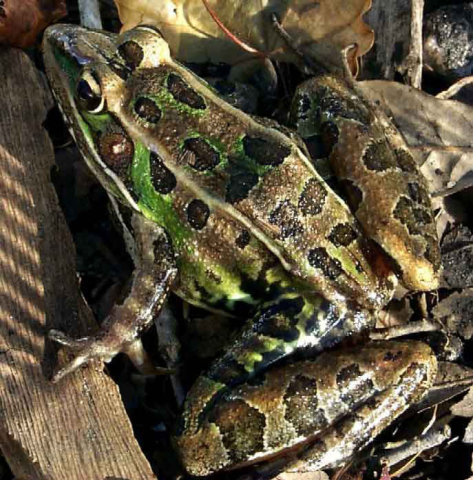 The new frog resembles this Southern leopard frog: image from the U.S. Geological Survey via silive.com