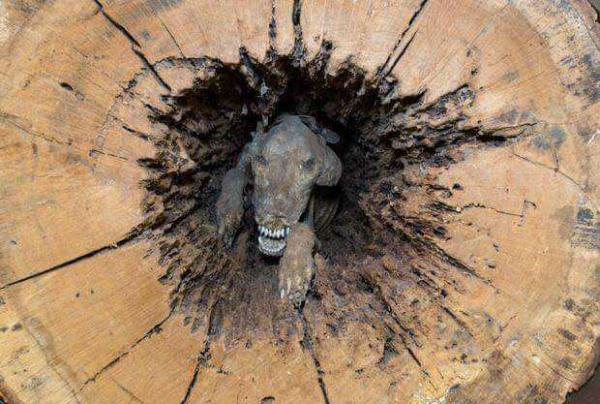 Mummified Hound Dog Stuck Inside Hollow Oak Tree For 60 Years