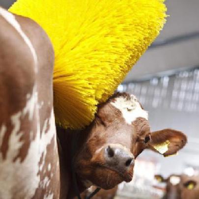The Cow Wash: image via swns.com