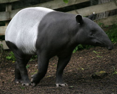 (I was kidding about the tapirs)