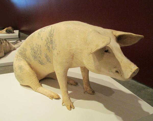 Tattooed Pigs Blur the Line Between Art and Abuse