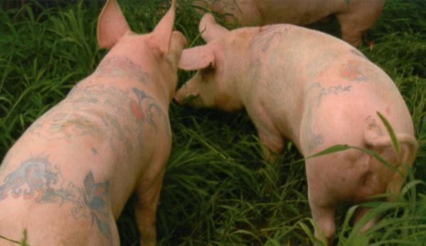 Tattooing animals for cosmetic purposes really gets under some people's skins... just imagine how these pigs feel.