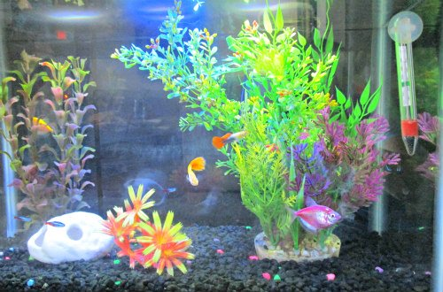 tetras and guppies