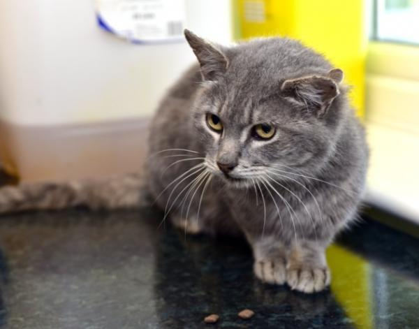 "Three-Eared Cat Dubbed ""Captain Kirk"" After His Final Front Ear ..."