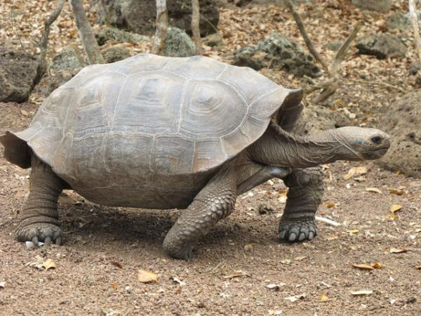 Took More Than 100 Years For Tortoises To Return To Galapagos