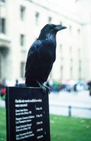 Raven resident at the Tower of London